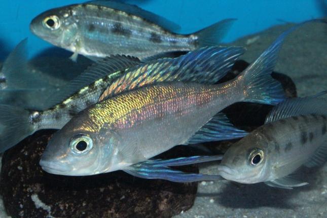 Cyathopharynx-foai-Sibwesa-NZ