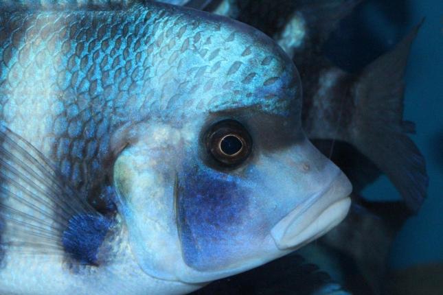 Cyphotilapia-frontosa-blue-Mpimbwe-NZ