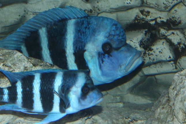 Cyphotilapia-frontosa-blue-Zaire-WF