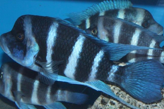Cyphotilapia-frontosa-blue-Zaire-Moba-WF