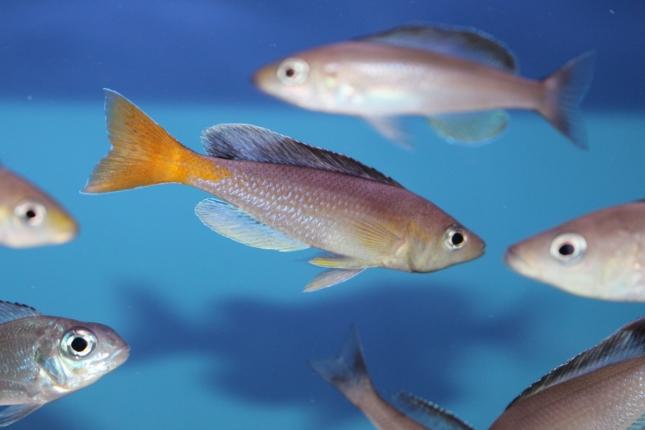 Cyprichromis-leptosoma-Cape-Kabogo-NZ