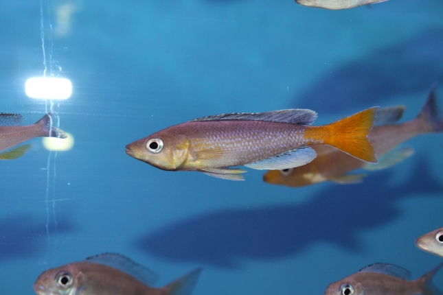 Cyprichromis-leptosoma-Cape-Kabogo NZ
