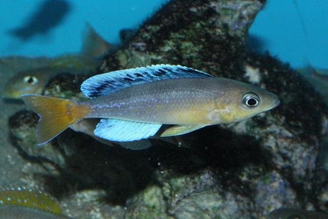 Cyprichromis-leptosoma-Jumbo-Chaitica-NZ