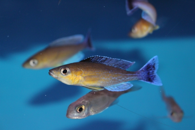 Cyprichromis-leptosoma-Jumbo-Chaitica-Nachzuchten-3-Kopie