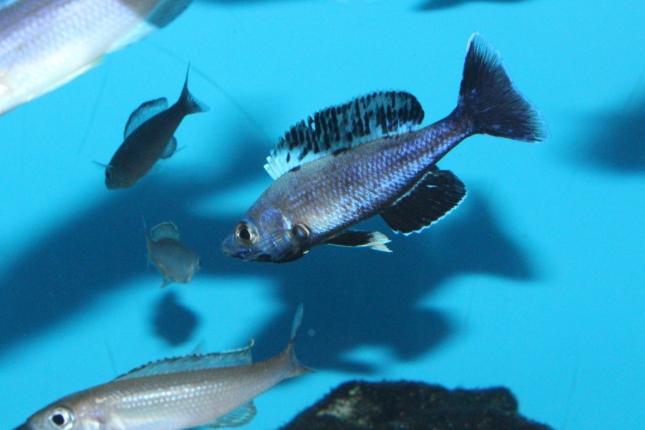 Cyprichromis-leptosoma-Jumbo-Kitumba-1-Kopie