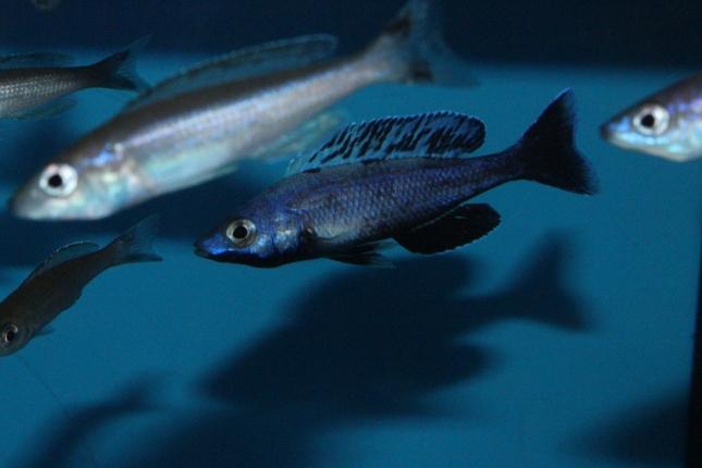 Cyprichromis-leptosoma-Jumbo-Kitumba-2-Kopie