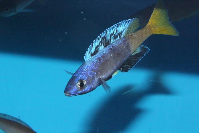 Cyprichromis-leptosoma-Jumbo-kitumba-Nachzuchten-3-Kopie