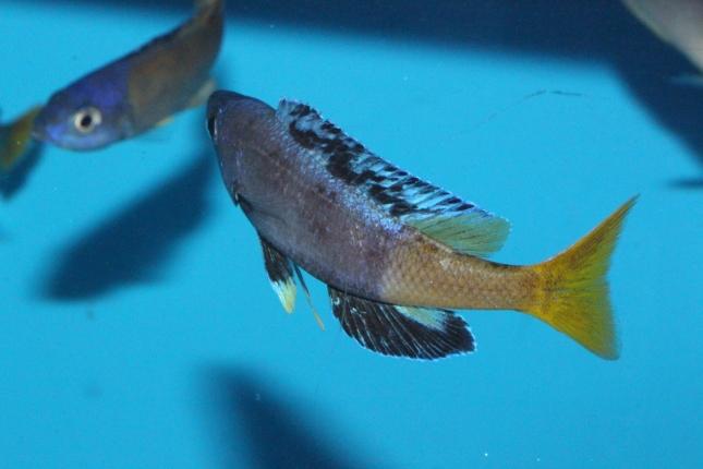 Cyprichromis-leptosoma-Jumbo-kitumba-Nachzuchten-5-Kopie