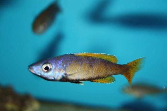 Cyprichromis-leptosoma-Kitumba-1-Kopie