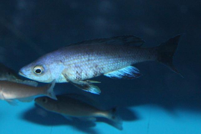 Cyprichromis-leptosoma-Kitumba-8-Kopie