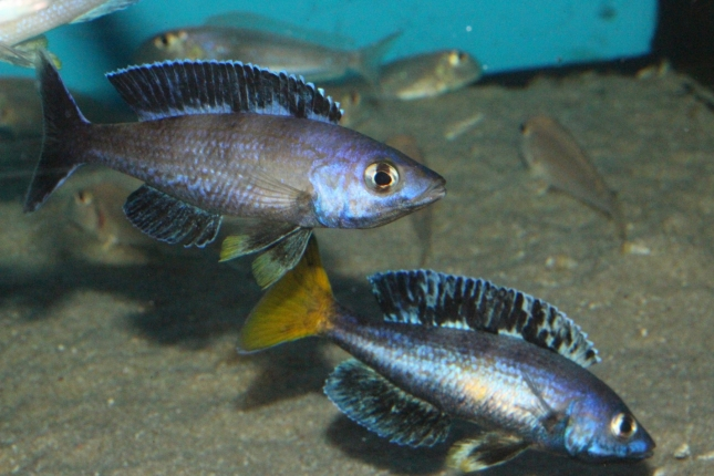 Cyprichromis-leptosoma-Kitumba-NZ-4