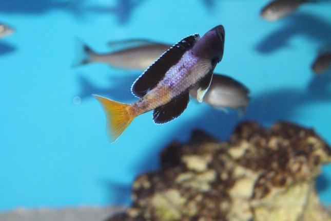Cyprichromis-leptosoma-Kitumba-Nachzucht-9