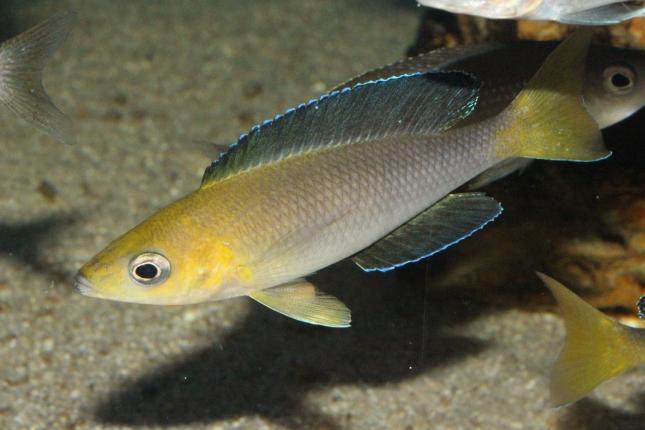 Cyprichromis-leptosoma-Mpimbwe-WF-1