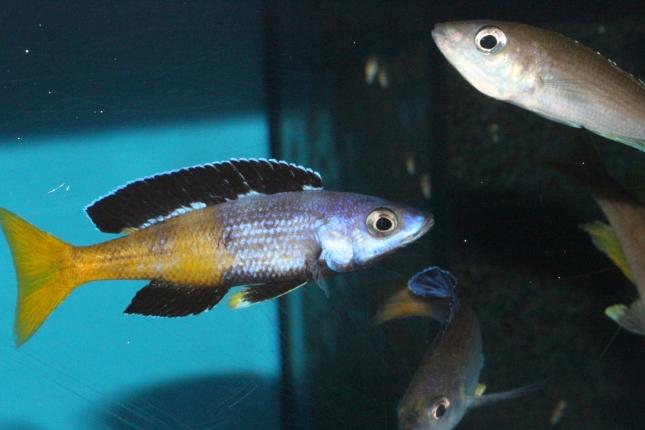 Cyprichromis-leptosoma-speckleback-Moba-NZ-2