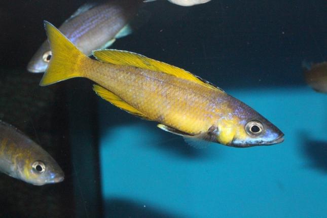 Cyprichromis-leptosoma-speckleback-Moba-NZ-5