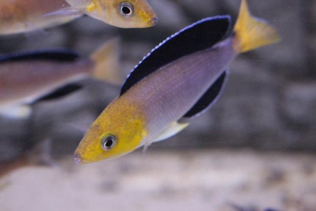 Cyprichromis-leptosoma-tricolor-1