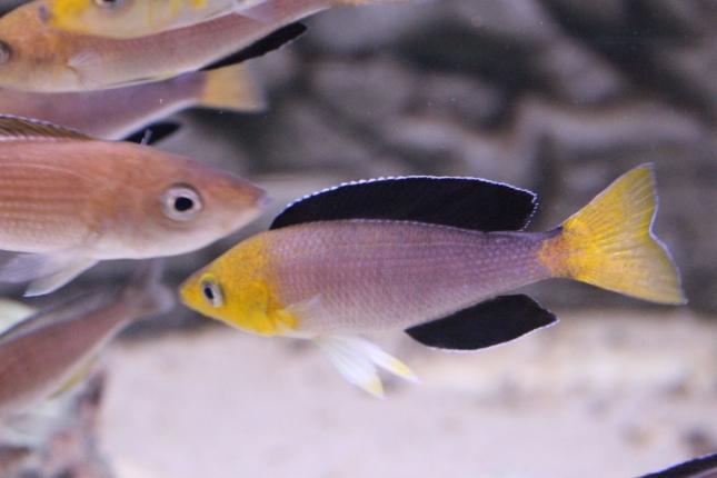 Cyprichromis-leptosoma-tricolor-5