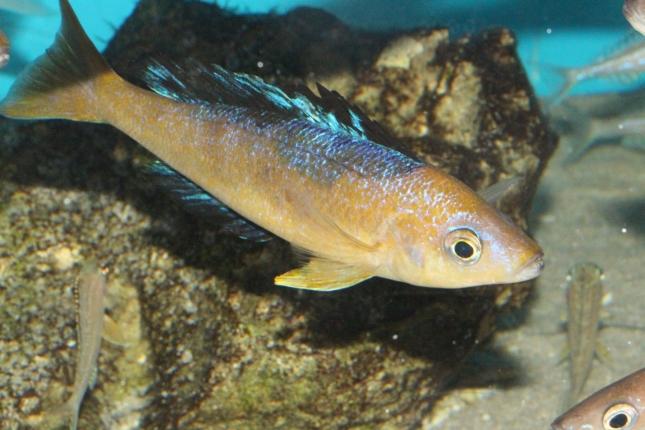 Cyprichromis-microlepidotus-Bulu-Point-WF-2-Kopie