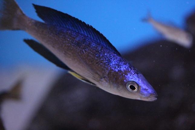 Cyprichromis-microlepidotus-Bulupoint-1