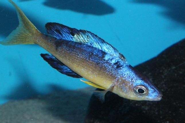 Cyprichromis-microlepidotus-Bulupoint-11