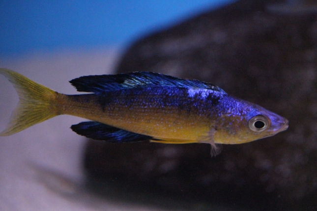 Cyprichromis-microlepidotus-Bulupoint-16