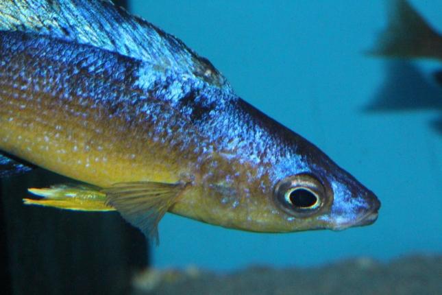 Cyprichromis-microlepidotus-Bulupoint-2