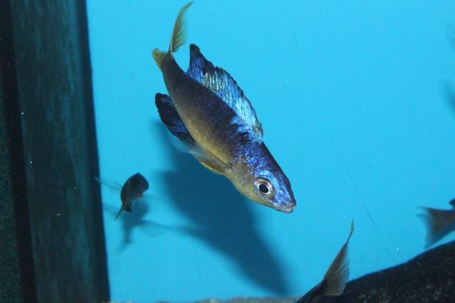Cyprichromis-microlepidotus-Bulupoint-5