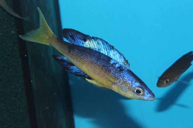 Cyprichromis-microlepidotus-Bulupoint-7