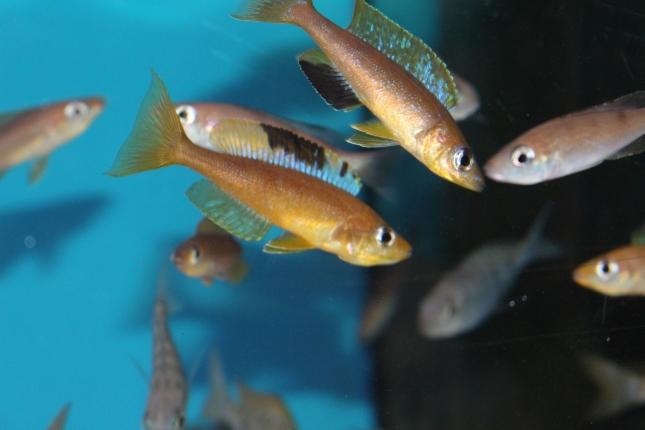 Cyprichromis-microlepidotus-Lyanembe-Nachzuchten-6