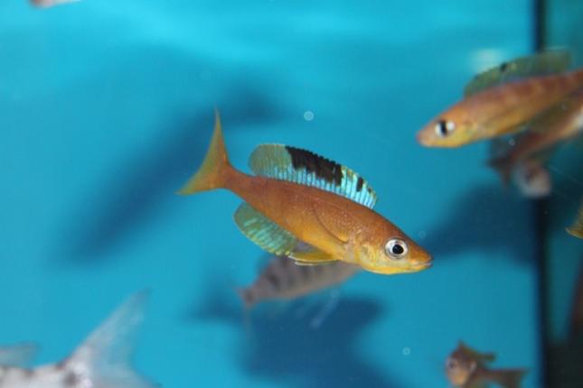 Cyprichromis-microlepidotus-Lyanembe-Nachzuchten-7