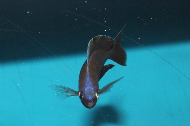 Cyprichromis-microlepidotus-bemba-NZ-2