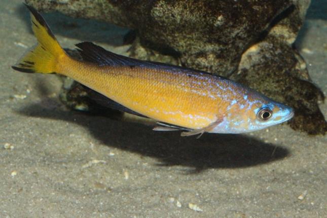 Cyprichromis-microlepidotus-kasai-4