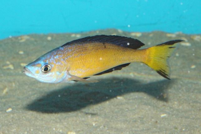 Cyprichromis-microlepidotus-kasai-6