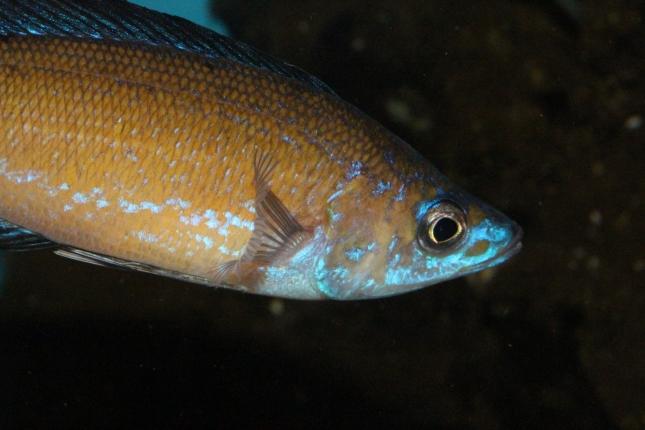 Cyprichromis-microlepidotus-kasai-F1-2