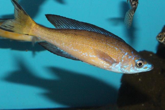 Cyprichromis-microlepidotus-kasai-F1-3