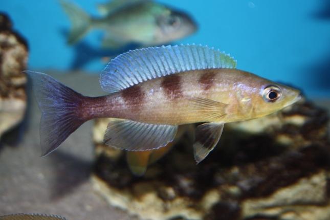 Cyprichromis-zonatus-2