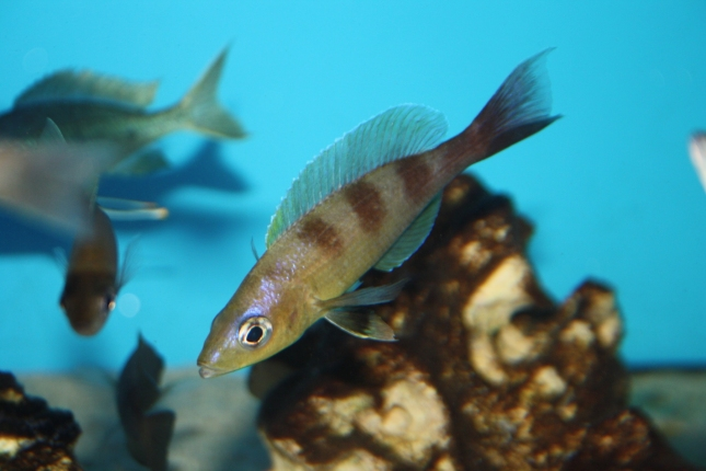 Cyprichromis-zonatus-3