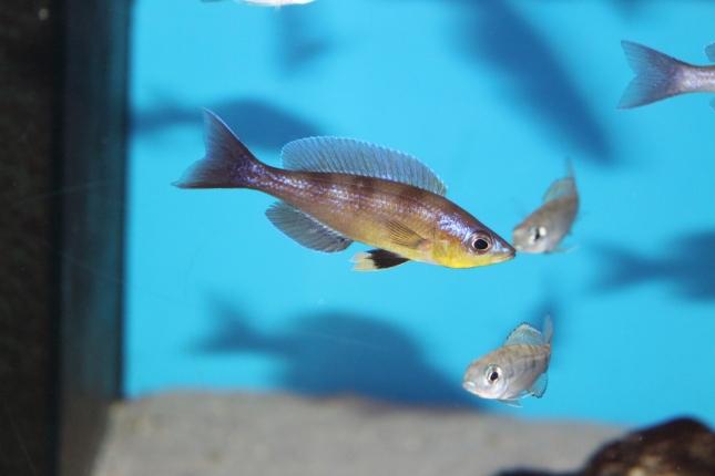 Cyprichromis-zonatus-Kibu-yellow-NZ