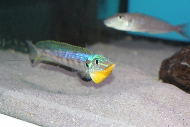 Enantiopus-melanogenys-kilesa-11