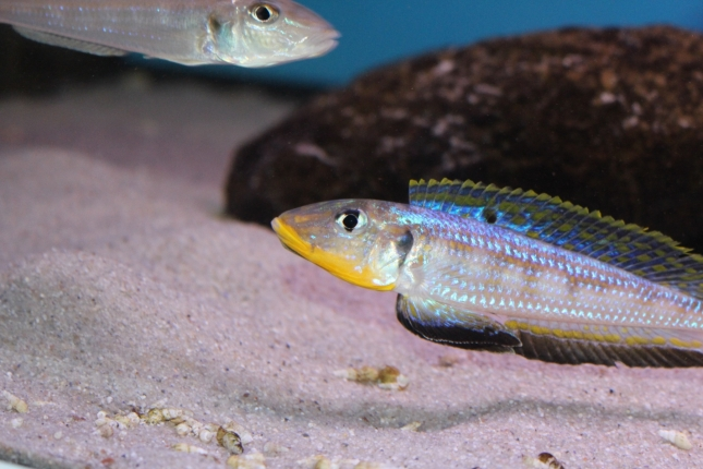 Enantiopus-melanogenys-kilesa-12