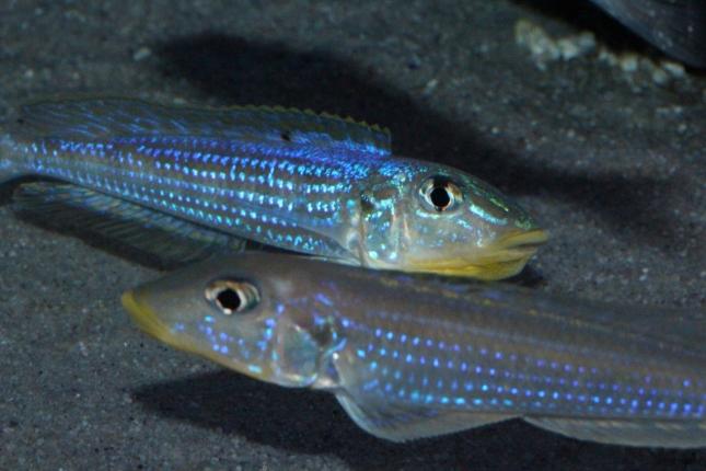 Enantiopus-melanogenys-kilesa-17