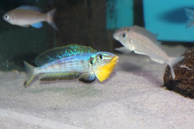 Enantiopus-melanogenys-kilesa-6