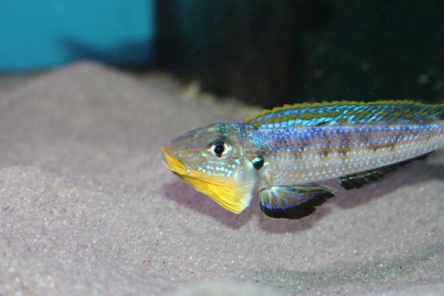Enantiopus-melanogenys-kilesa-7