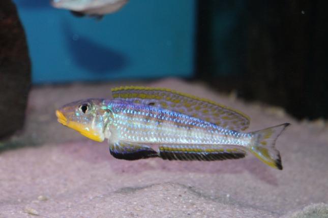 Enantiopus-melanogenys-kilesa-9